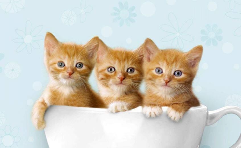 Kiến thức khi phối giống mèo Anh lông ngắn chủ nuôi cần biết