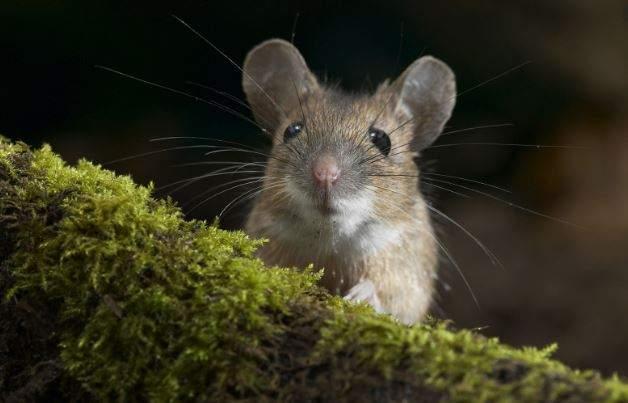Nằm Mơ Thấy Chuột Là May Mắn Gì? Ý Nghĩa Đằng Sau Điềm Báo Này